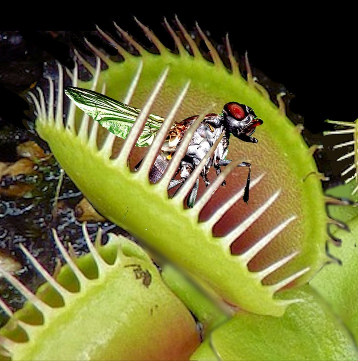 Venus flytraps eat small insects like flies.