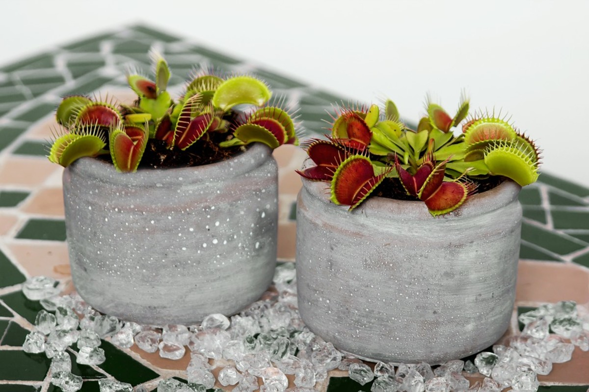 How to Grow a Venus Flytrap, a Native Plant