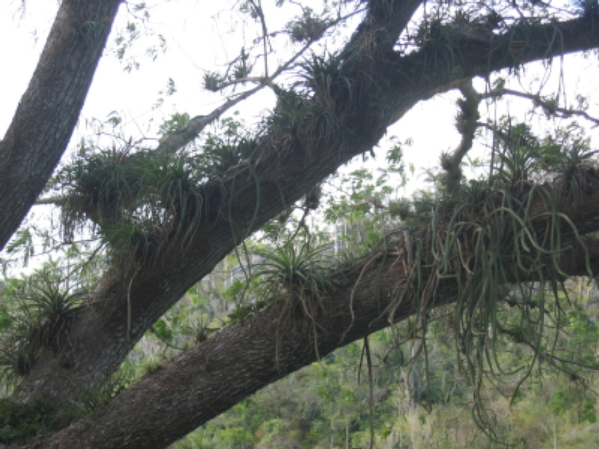 Some air plants grow in trees.