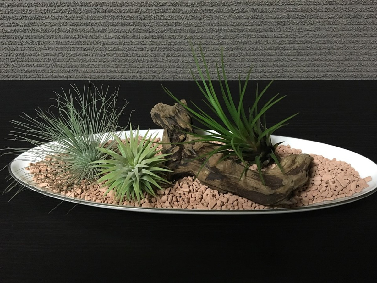 A beautiful arrangement of air plants that are being grown in stones with no soil.