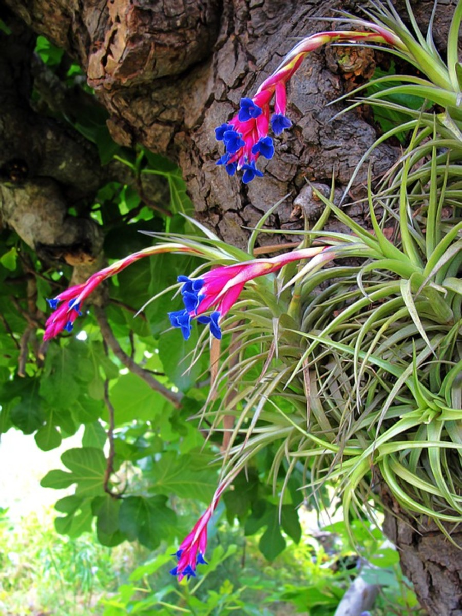 Air plant flowers.  The plants have attached themselves to a tree using their roots.