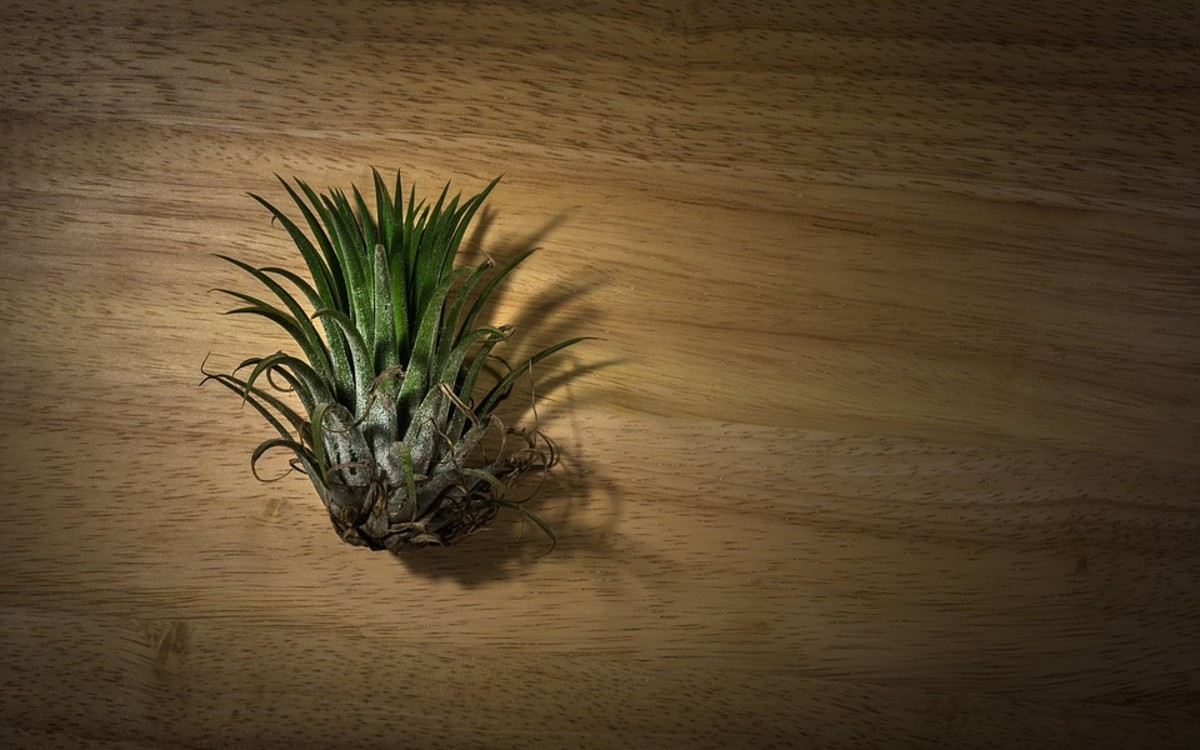 Most air plants have no roots.  The plant pictured above was placed in a bowl and grew nicely despite having no roots.