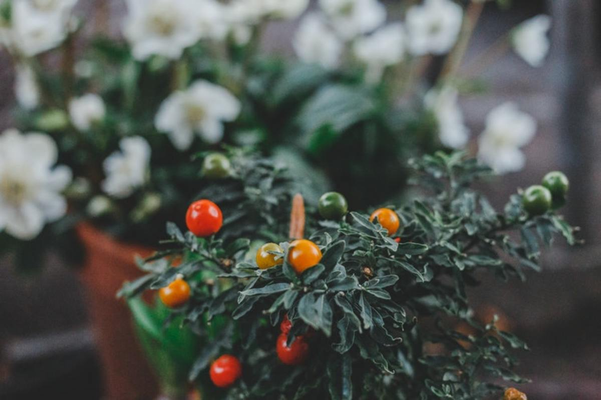 Tomatoes need a lot of love, so be prepared to water them frequently.
