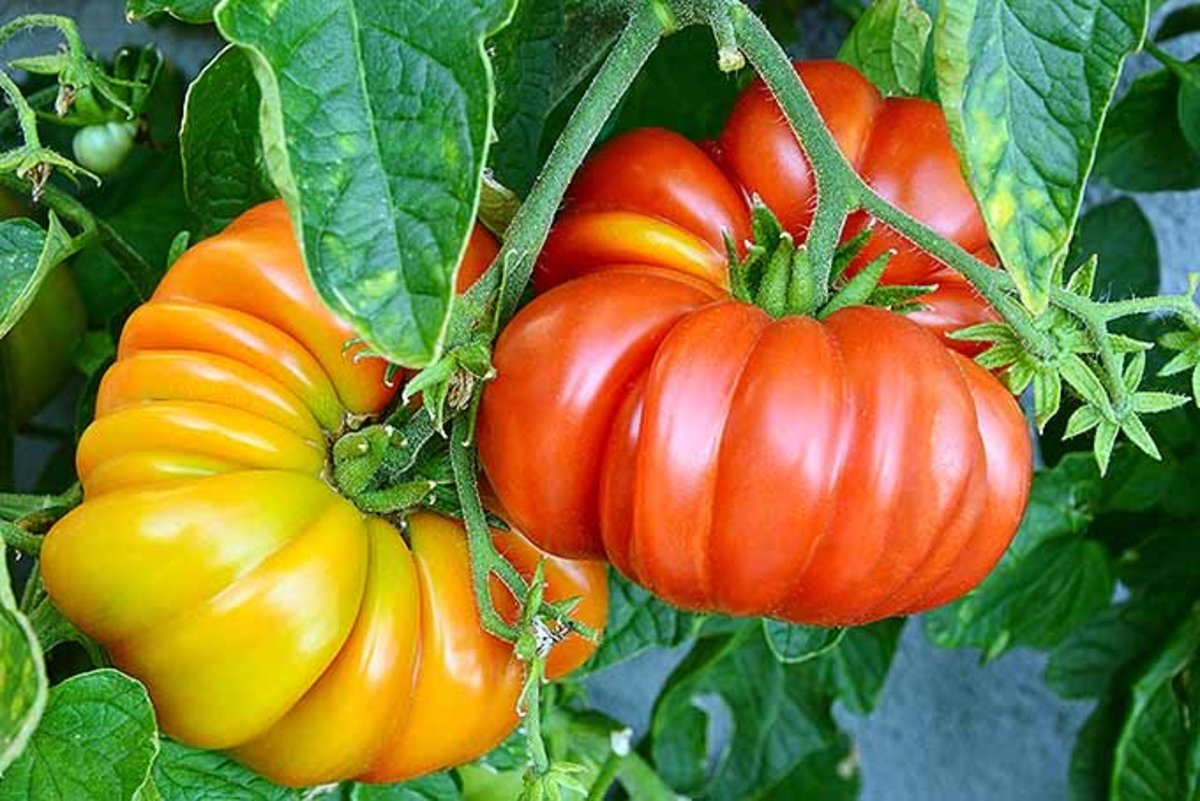 What are heirloom tomatoes? One thing is for sure, they are not the typical smooth skinned tomatoes you see in most supermarkets.