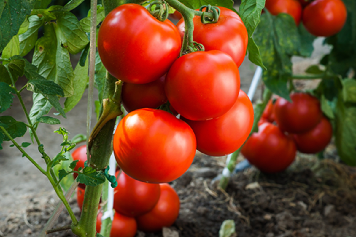 Commercial hybrid tomatoes are usually smooth and have a similar shape across multiple fruit.