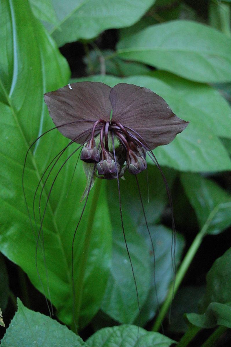 how-to-grow-bat-flowers