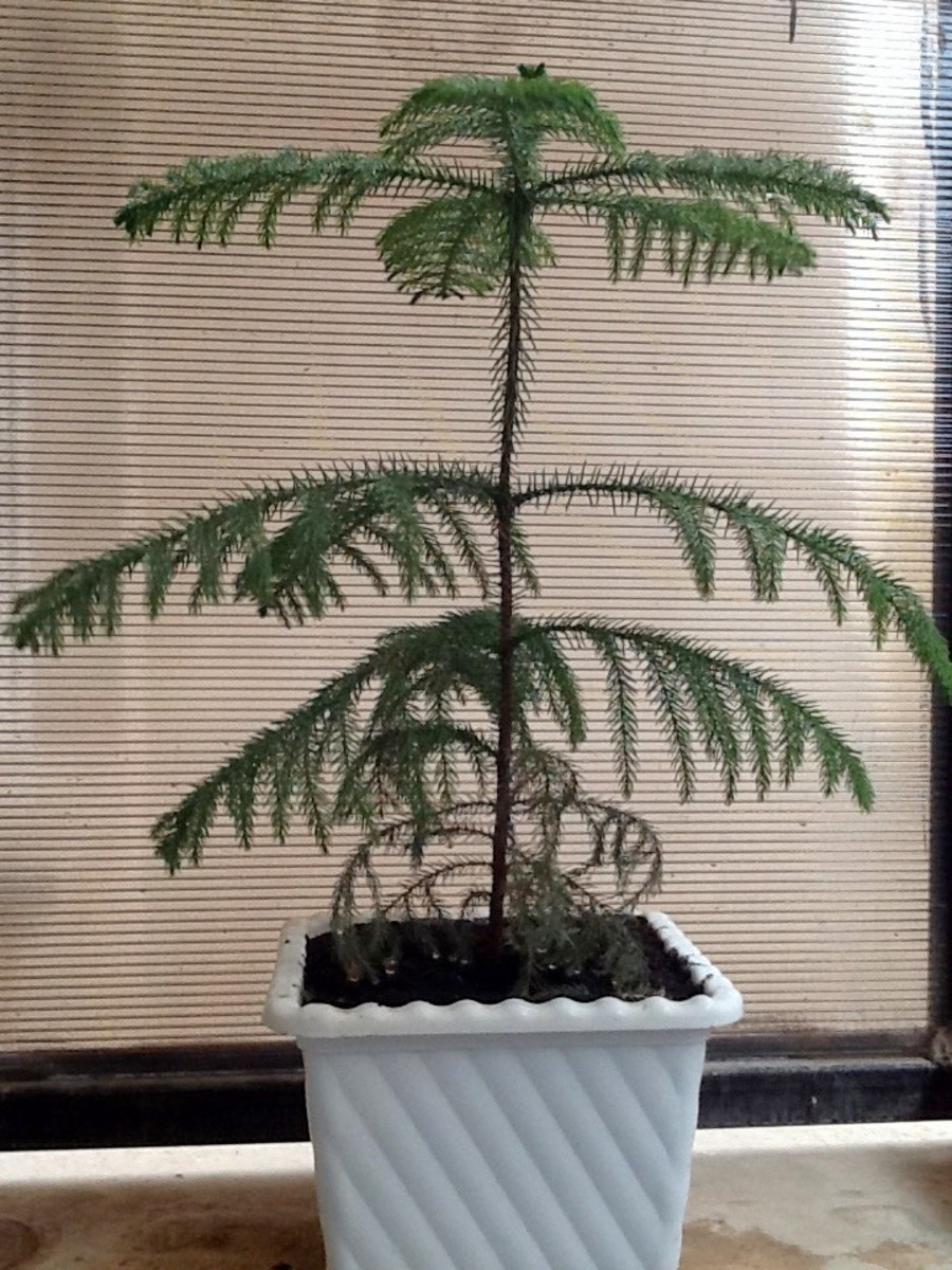 How to Grow a Norfolk Island Pine as a Houseplant