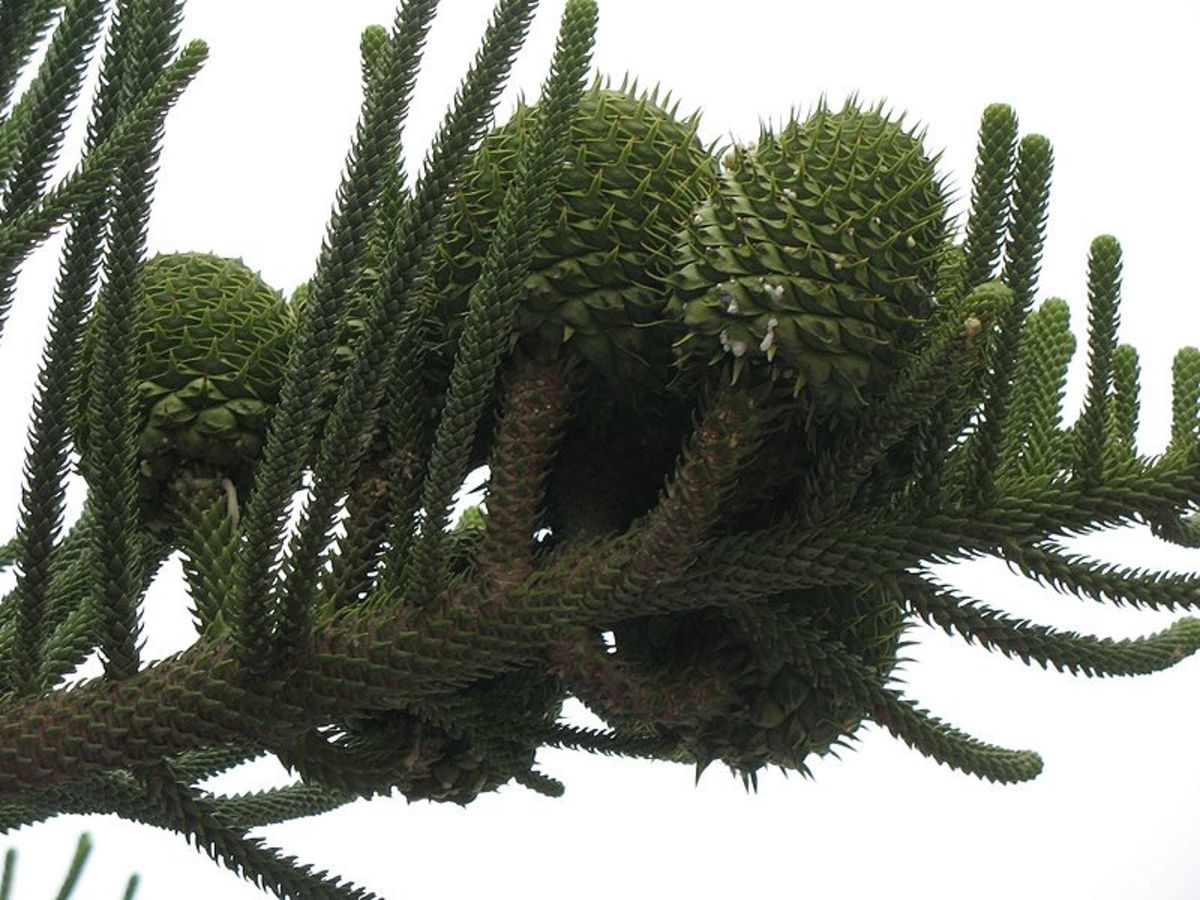 Norfolk Island Pine seeds develop in cones like the seeds of pine trees.