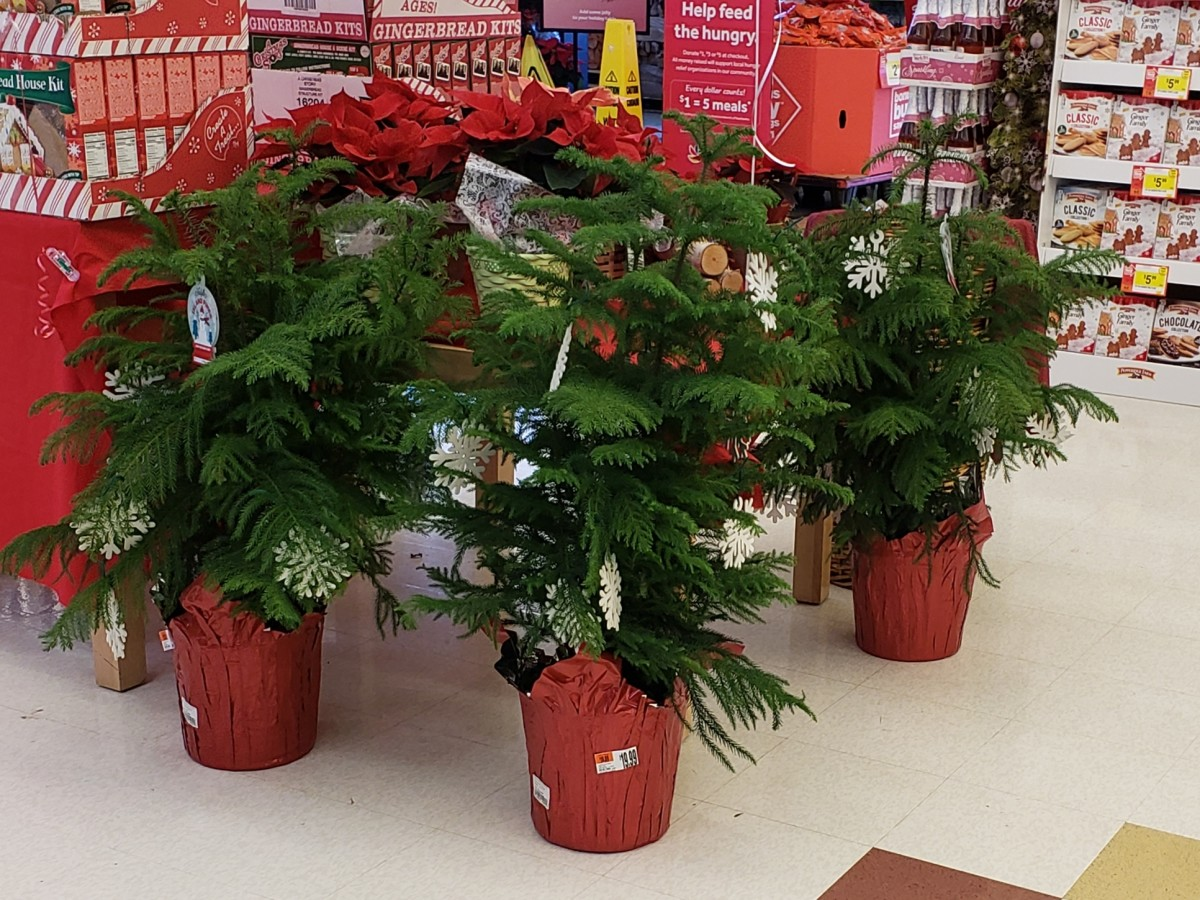 Norfolk Island Pines are often sold as living Christmas trees during the holiday season