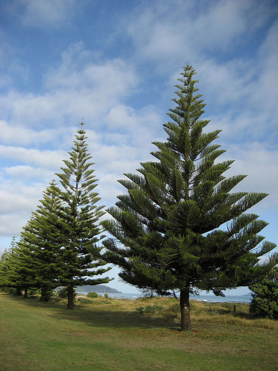 Norfolk Island Pines can grow to 200 feet tall.