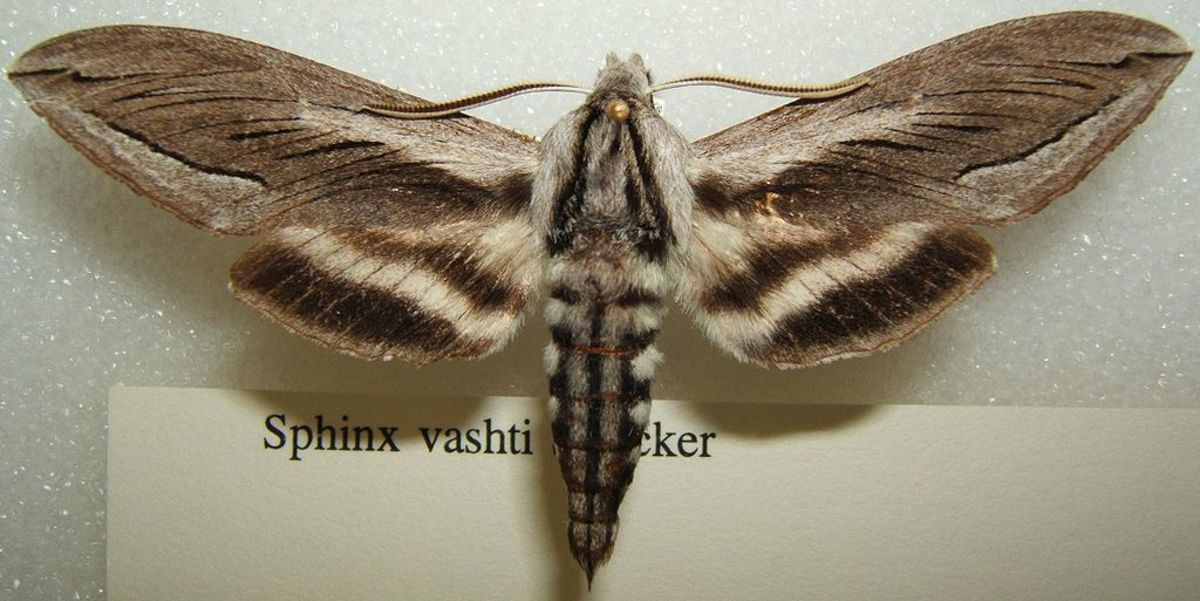 Snowberry shrubs attract native moths including the Sphinx Vashti moth.