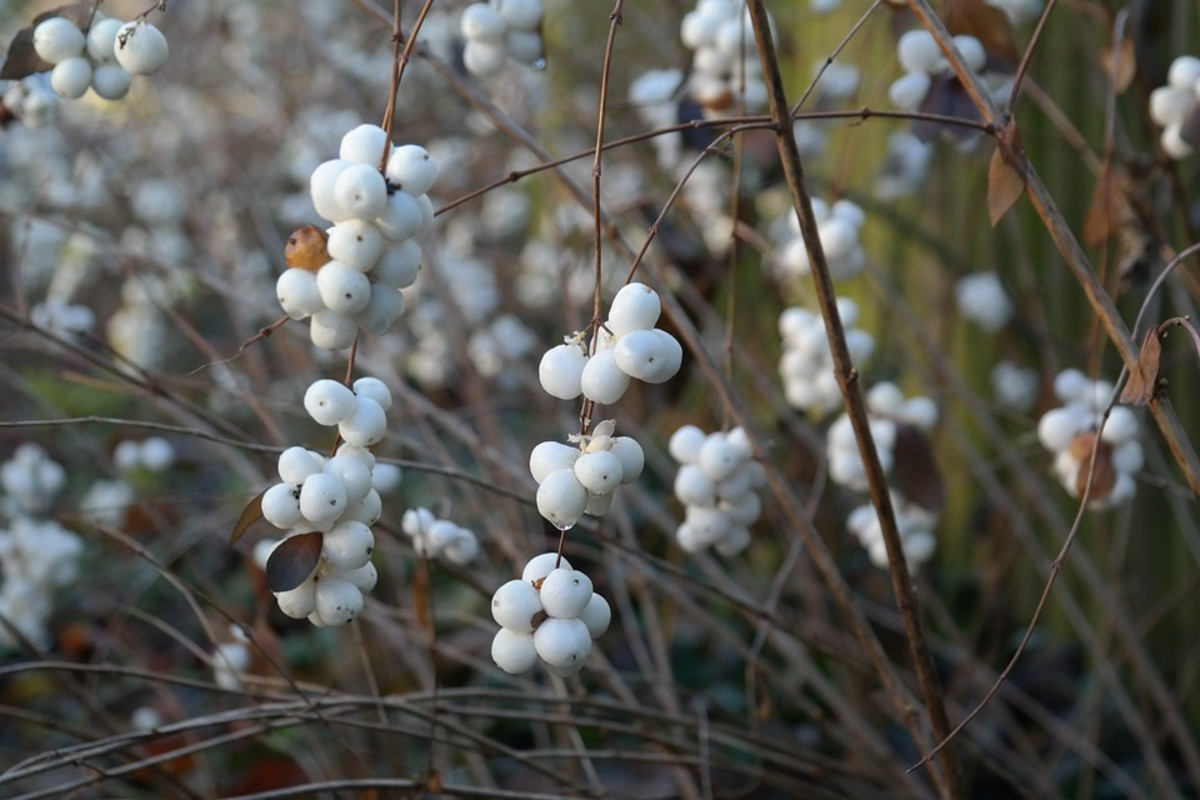 Snowberry bushes lose their leaves in the fall but the berries remain all winter