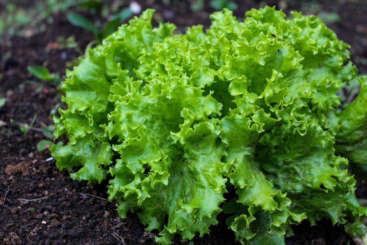 Even healthy, leafy lettuce can be grown in the dead of winter!