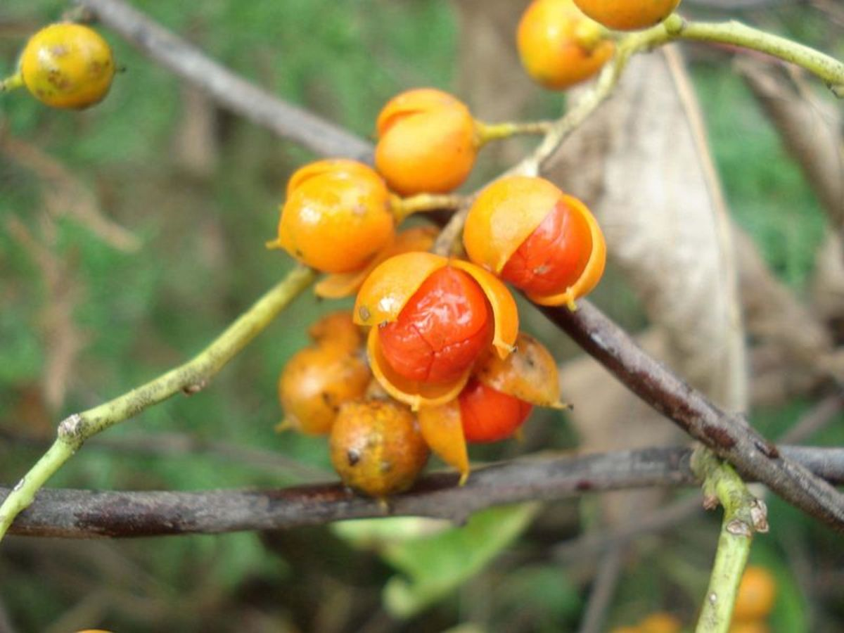 How to Grow American Bittersweet, a Native Plant, for Winter Interest