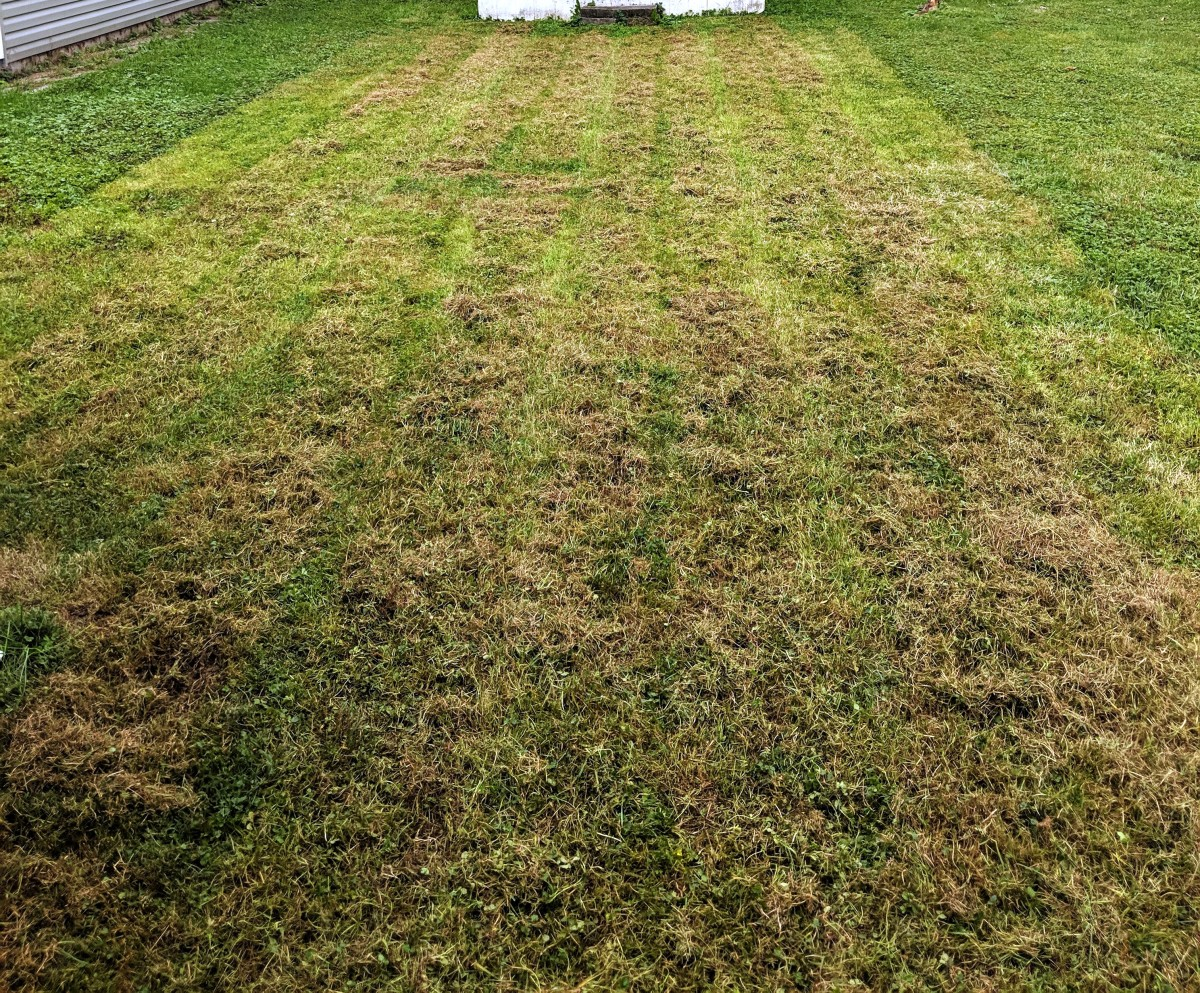 Lawn after dethatching. Dried brown material lays on top ready to be raked up.