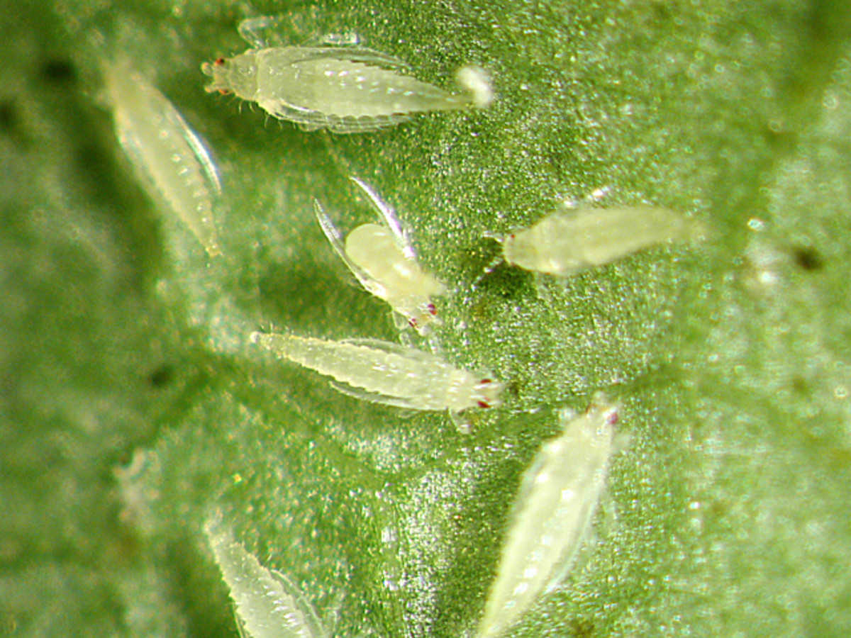 These insects can literally suck the life out of your rose blossoms.  They are often translucent and impossible to find.