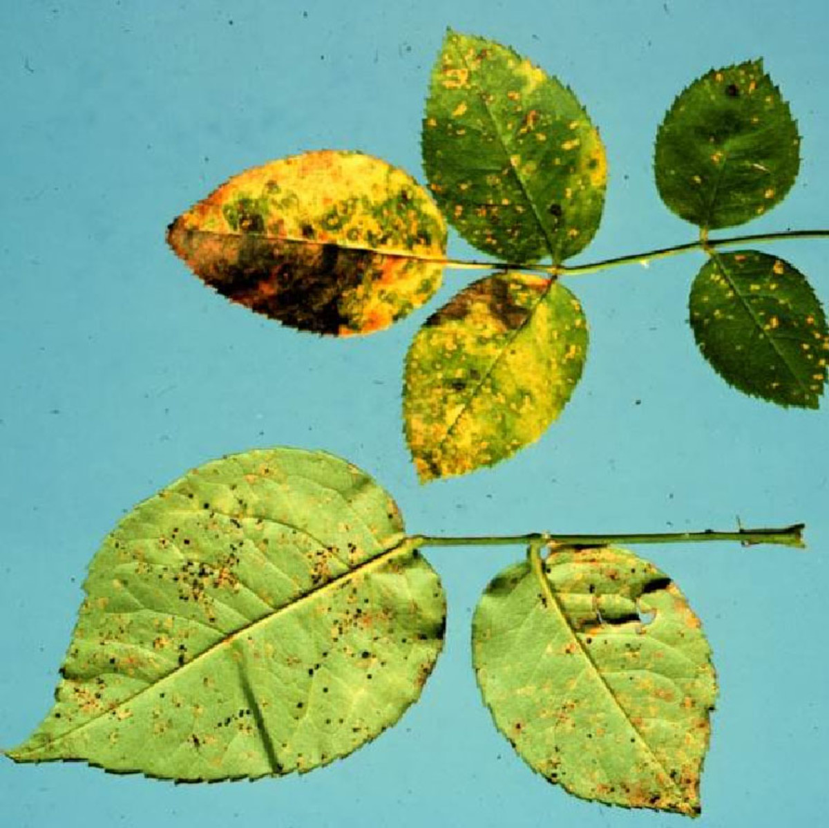 If the undersides of the leaves on your rose plant become mottled with yellow, you probably have a case of rust, a fungal disease that spreads about in rain drops.