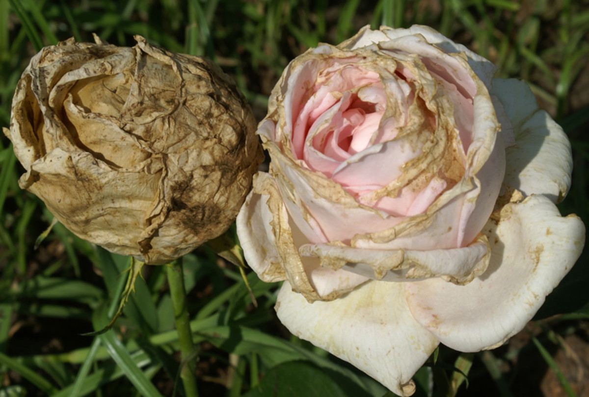 If your rose buds turn brown before they even open, you may have Botrytis blight, or gray mold caused by a fungus that thrives in cool, damp conditions.