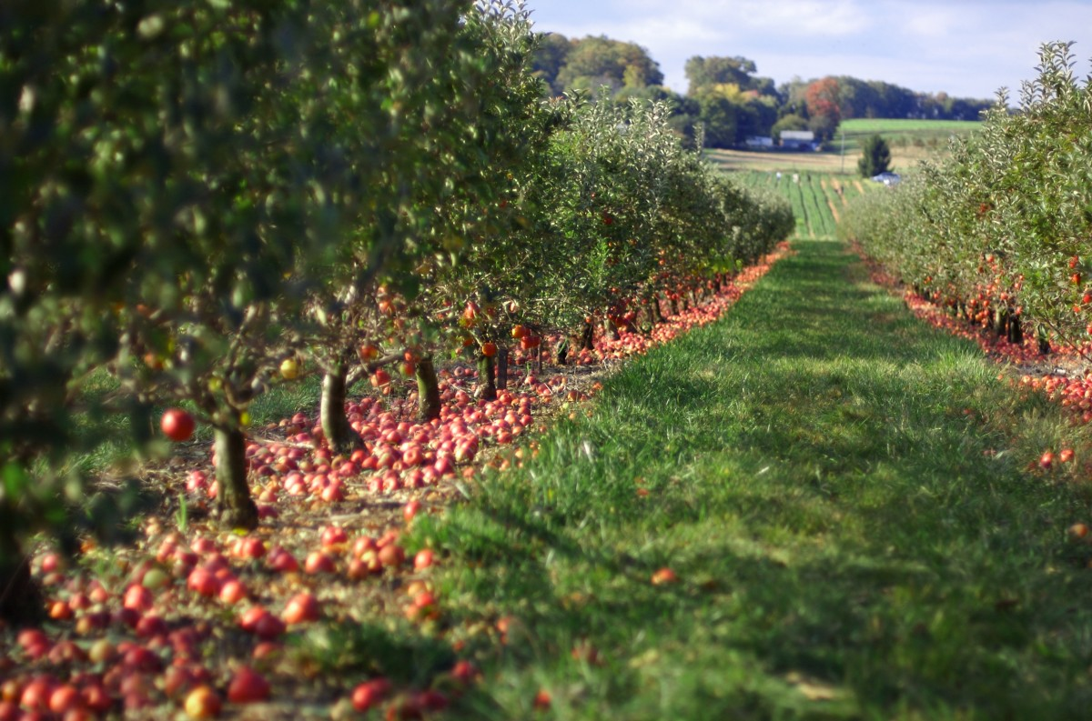 An apple orchard in Georgia. In October, when temperatures are usually in the mid to high 70s, people drive many miles to pick apples in this area.