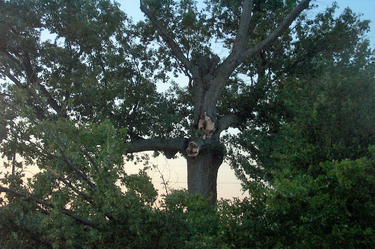 Catching a glimpse of one of our 150 year-old oak trees in summer evening light.