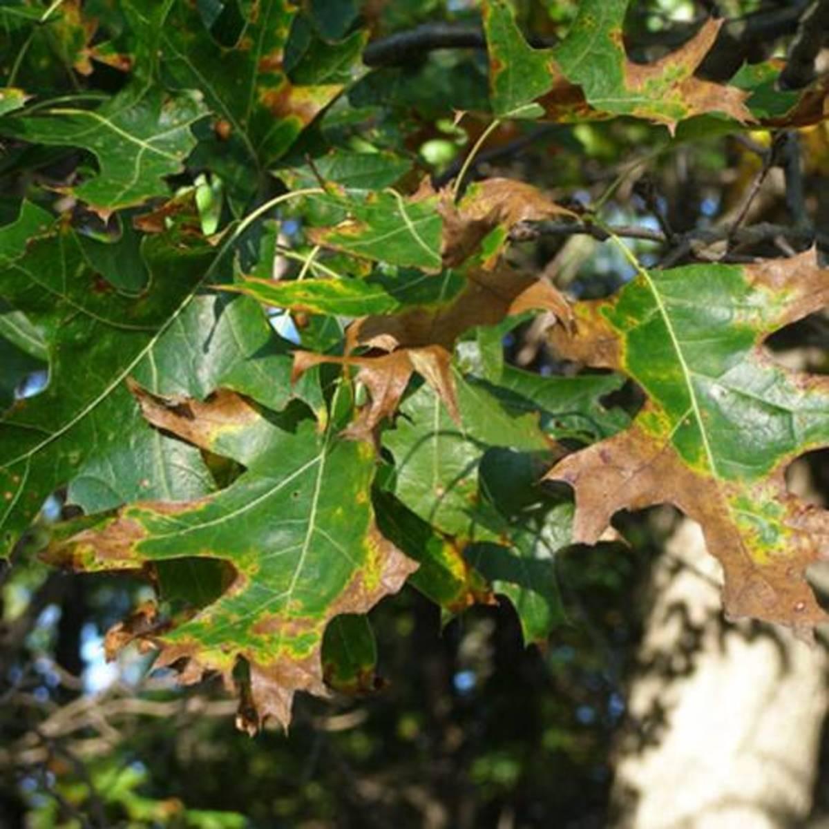 Beginning of oak wilt