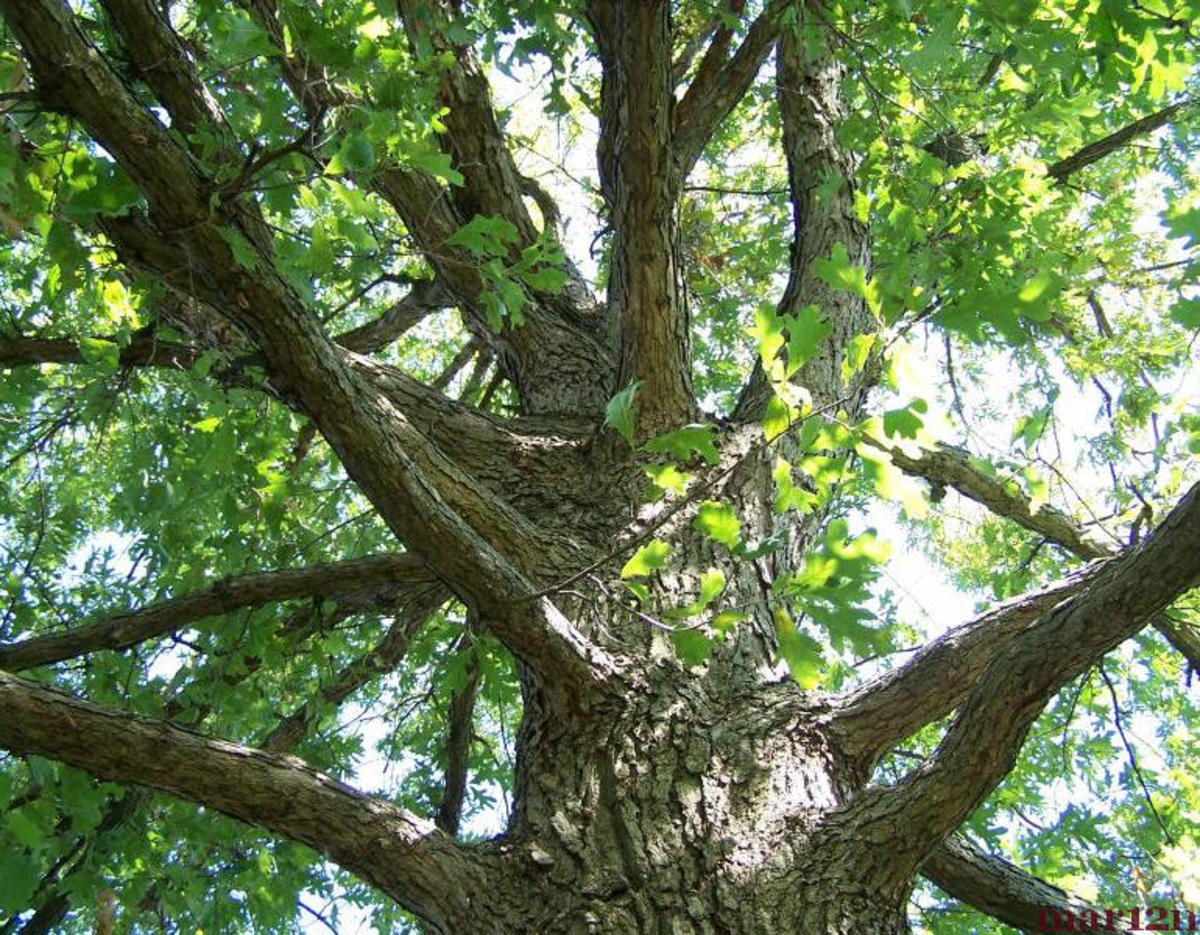 Great white oak!