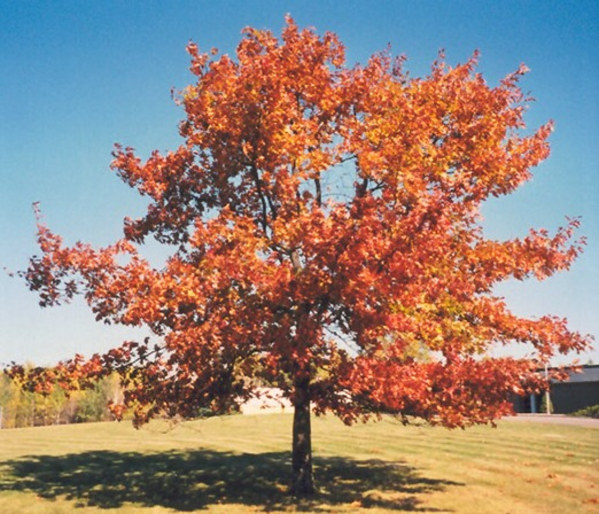 Red oak in the beginning of autumn