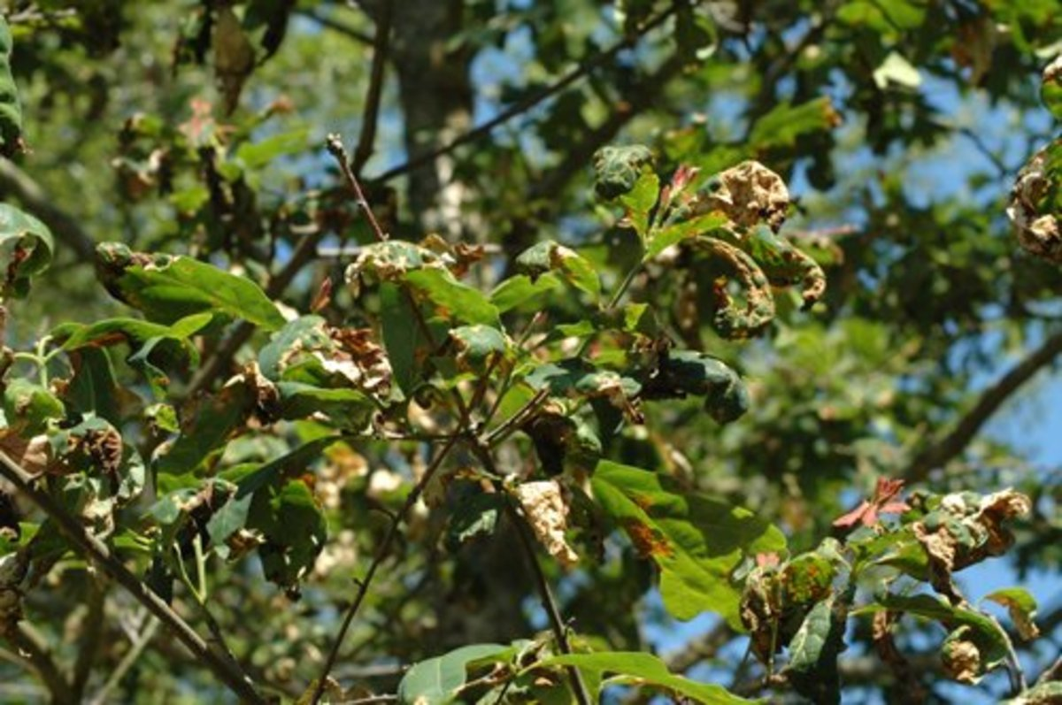 Anthracnose on oak