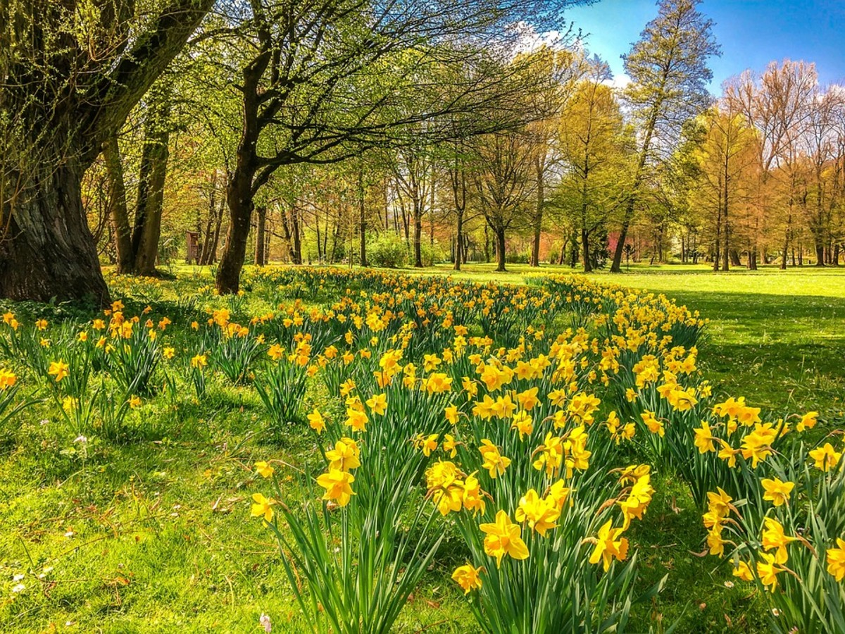 Daffodils can be planted under deciduous trees which leaf out after the daffodils have finished blooming and their foliage has died.