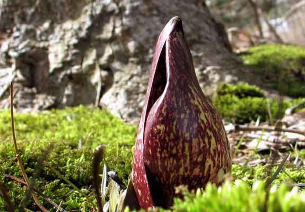 The flower, actually a spathe, of the Eastern Skunk Cabbage