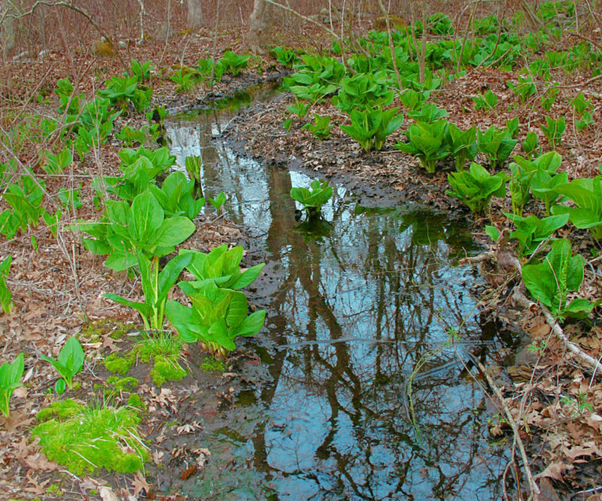 The foliage of the eastern skunk cabbage emerges after the flowers have died.