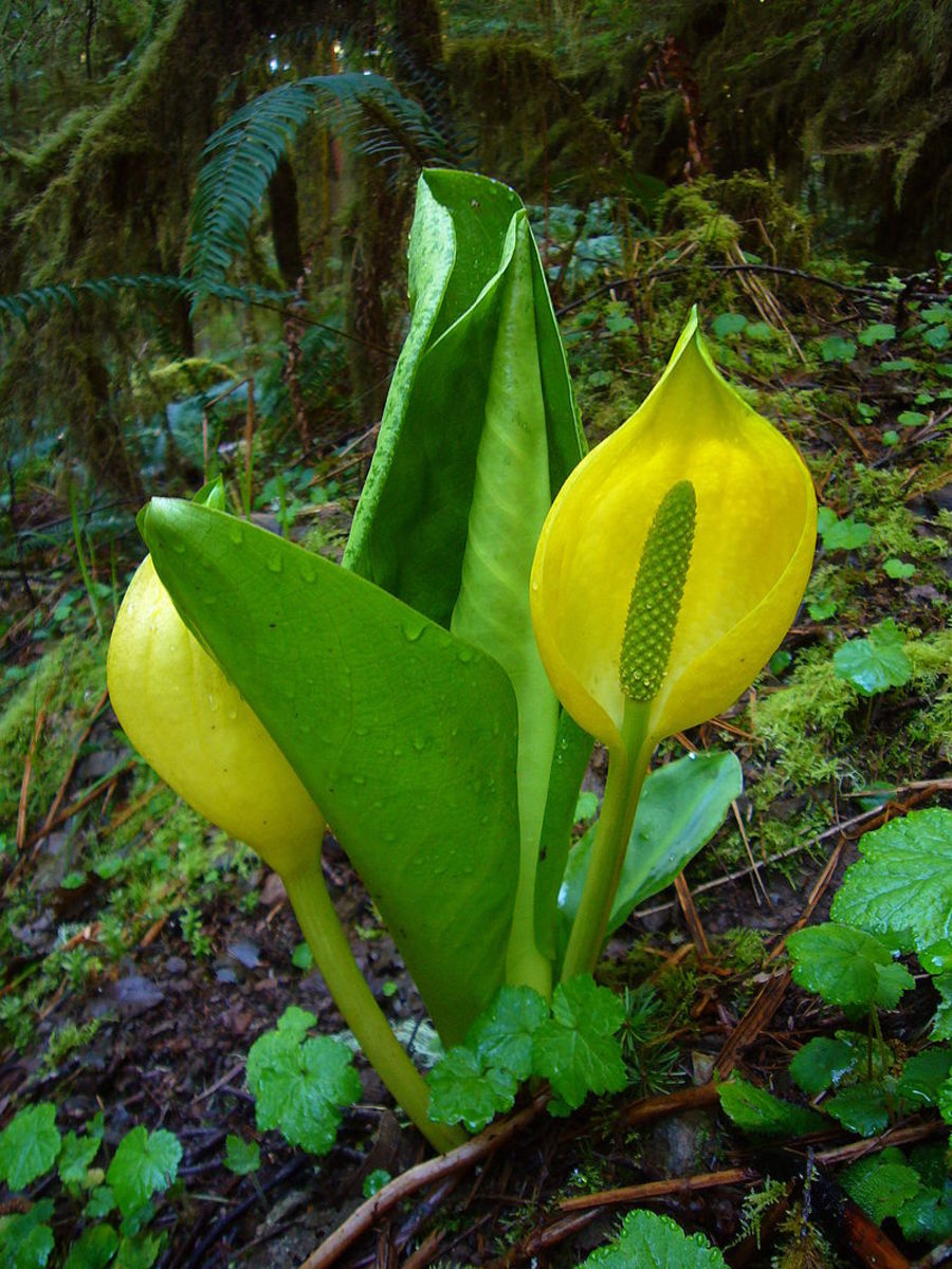 The western skunk cabbage has a bright yellow spathe