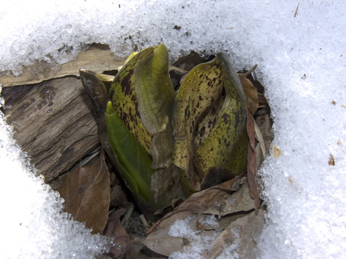 Eastern skunk cabbage spathes heat up to melt the surrounding snow.