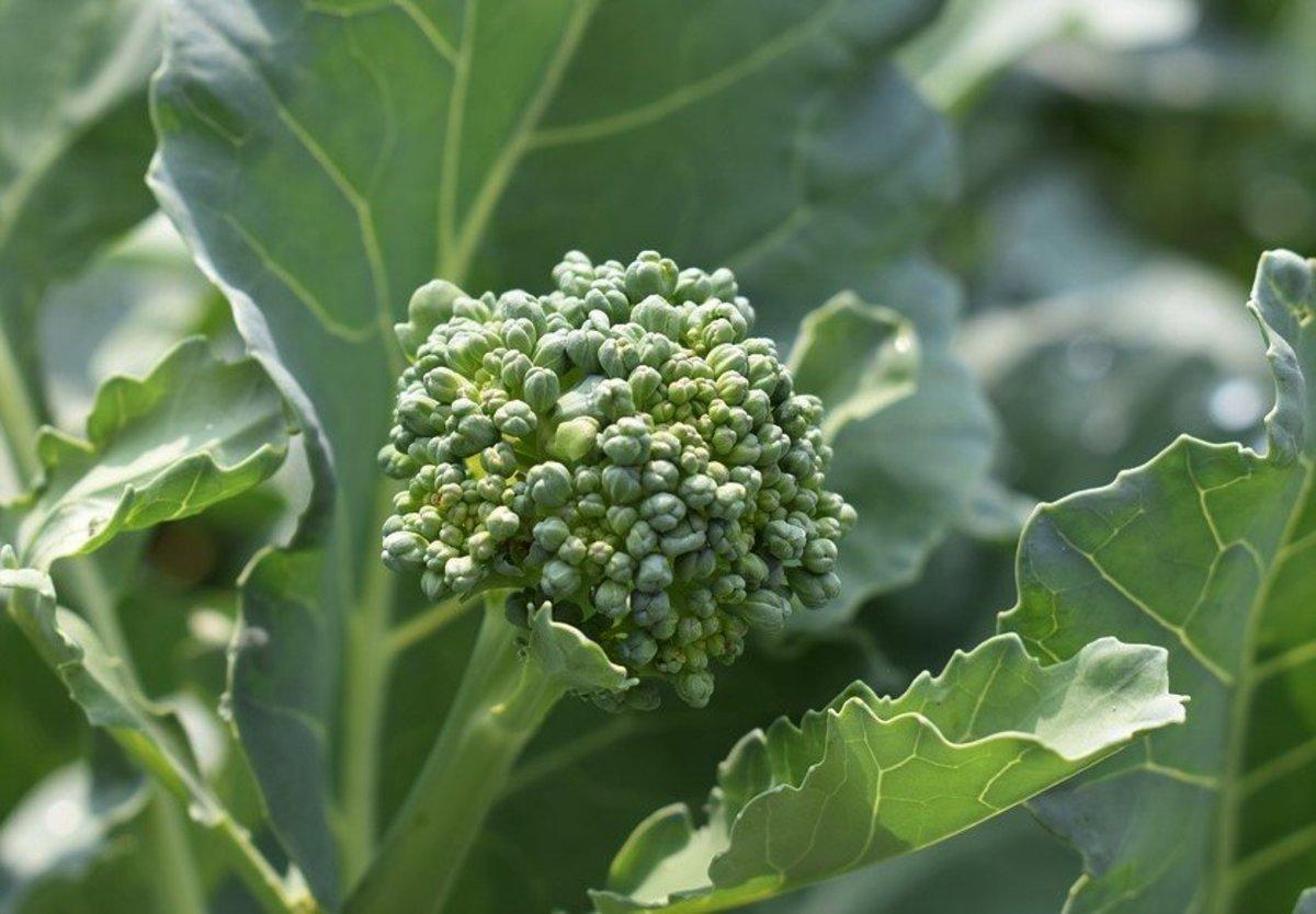 Budding broccoli in the garden