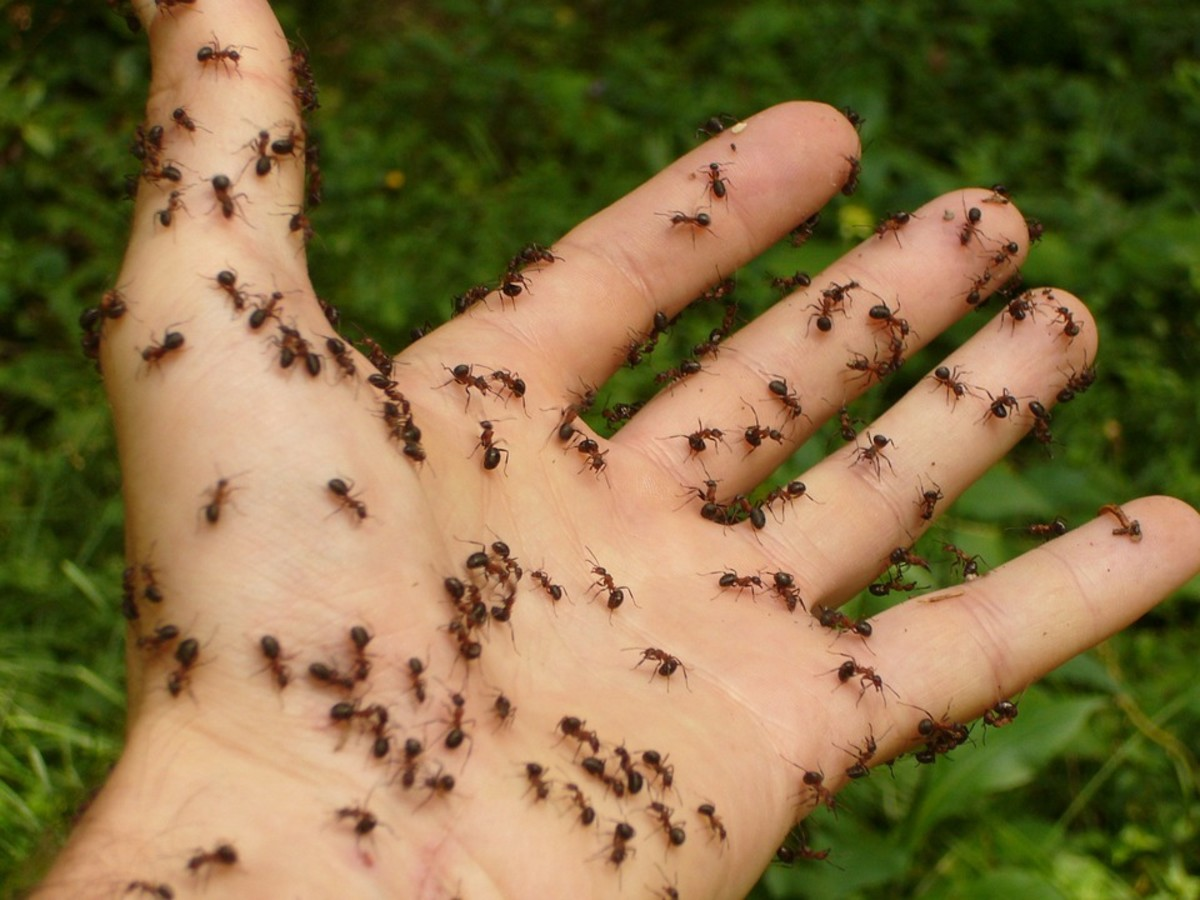 Removing- ants with ant traps