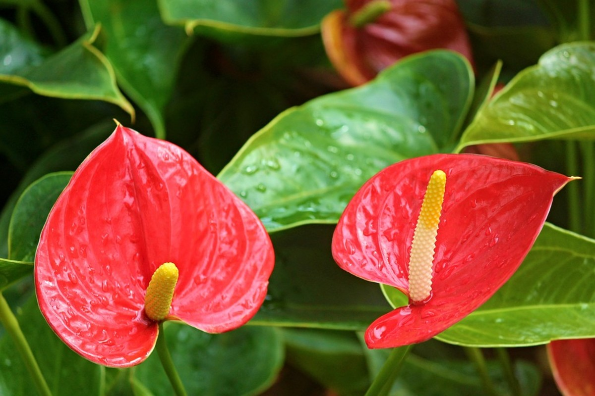 How to Grow Anthuriums