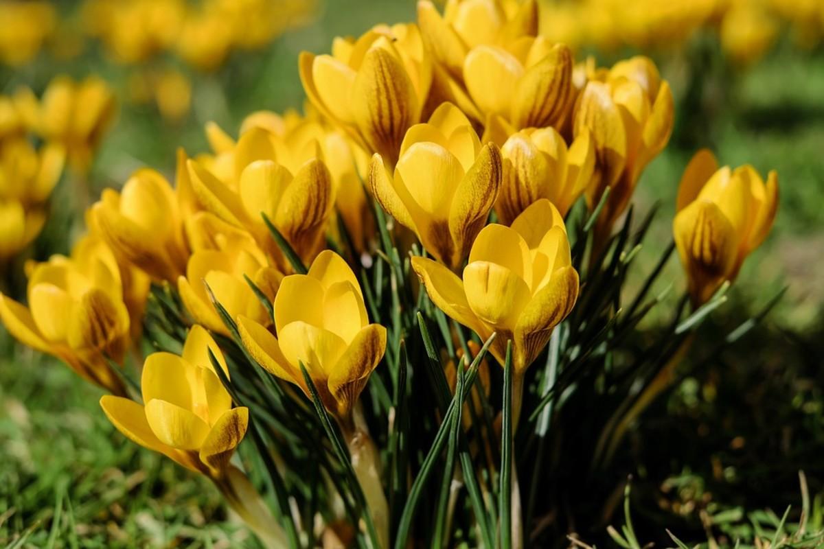 Yellow bicolor crocus
