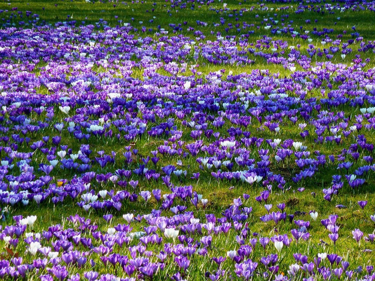 If you plant crocus in your lawn, wait 6 weeks after they bloom to mow.