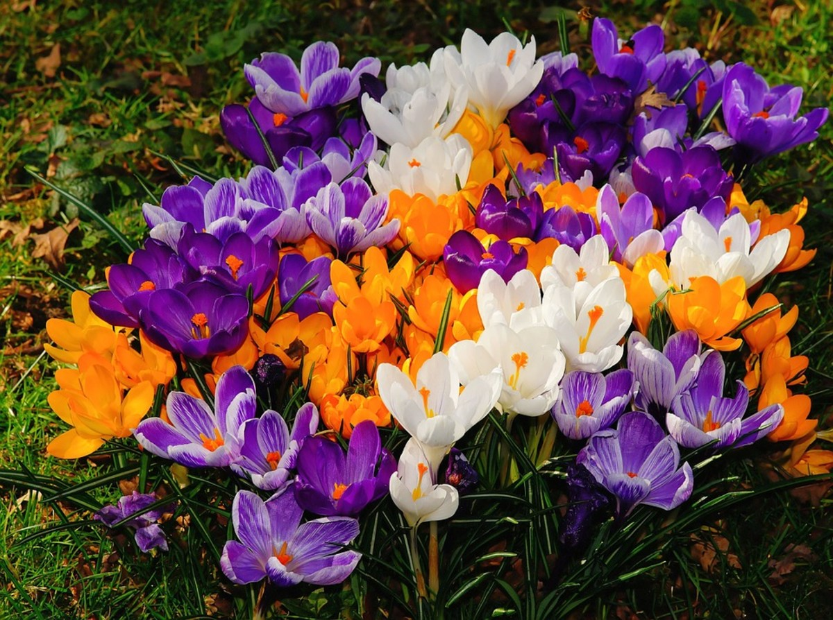 How to Grow Crocus for Spring Color