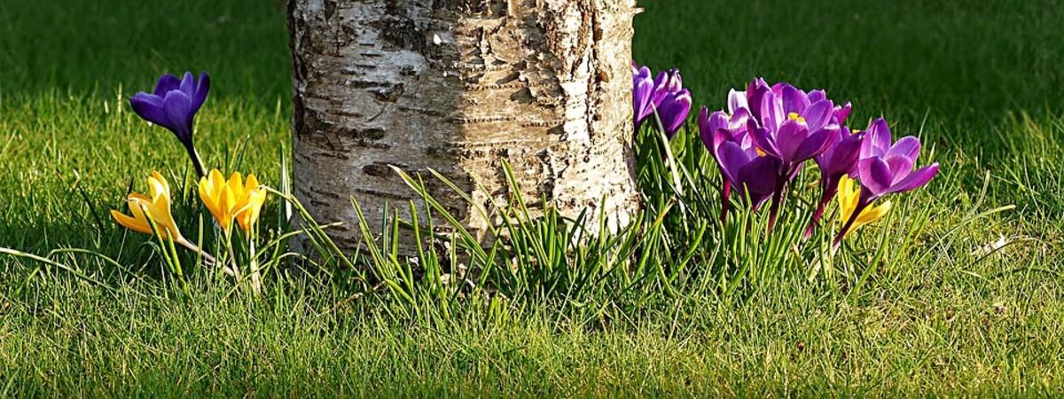 Crocus can grow under deciduous trees.