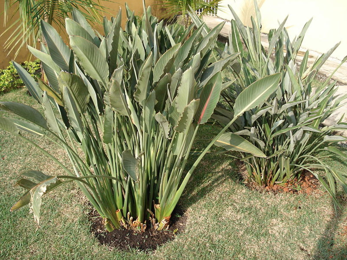 Bird of paradise grows and blooms best outdoors when grown in a large clump.  Note how the leaves resemble banana leaves and emerge directly from the from the ground