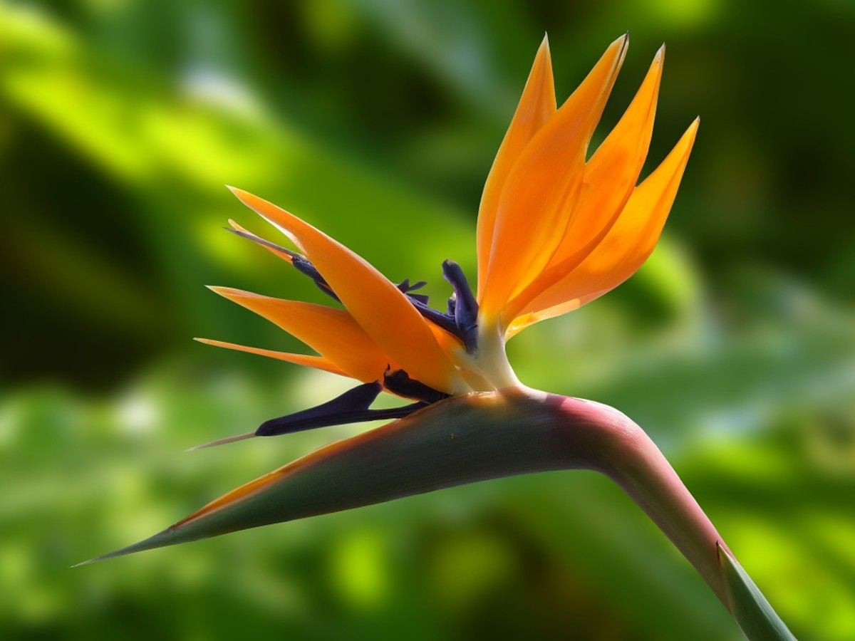 How to Grow a Bird of Paradise Indoors or Outdoors