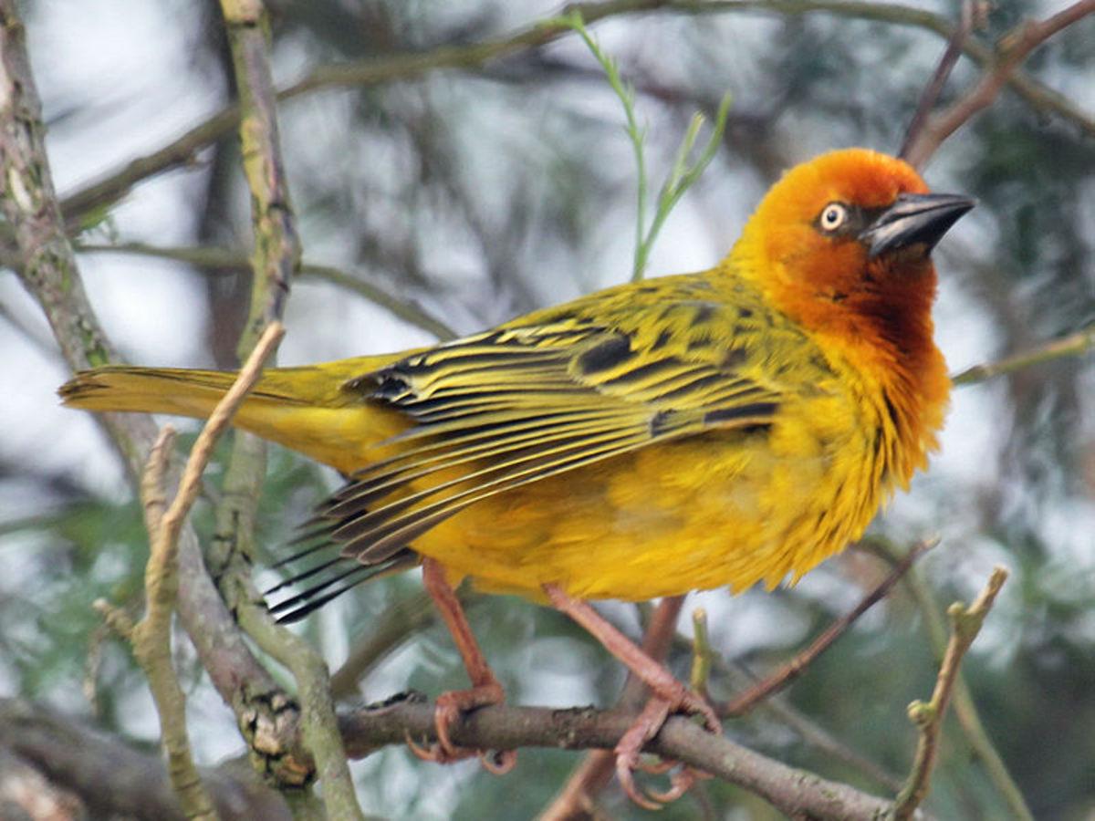 Cape Weaver, the most common sunbird that pollinates bird of paradise flowers