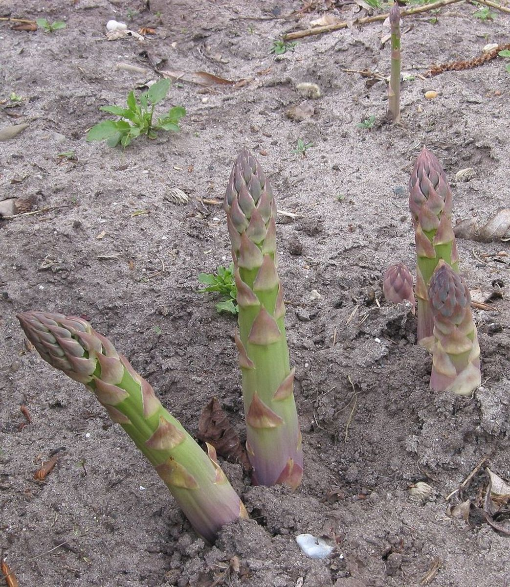 Harvest spears that are 8 inches tall and as thick as your finger.