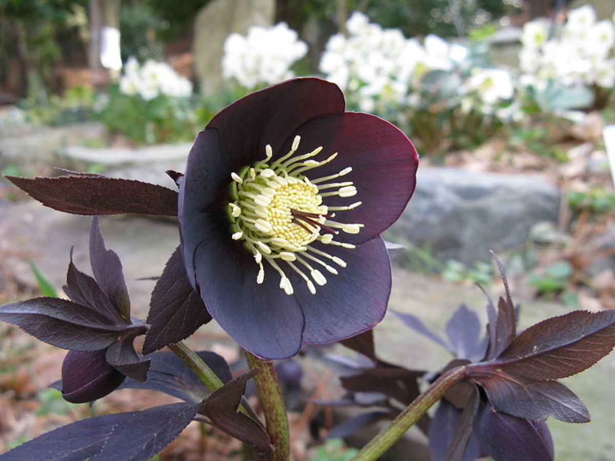 Nurseries sell hellebores in the spring to entice customers with unusual flower colors like this black one.