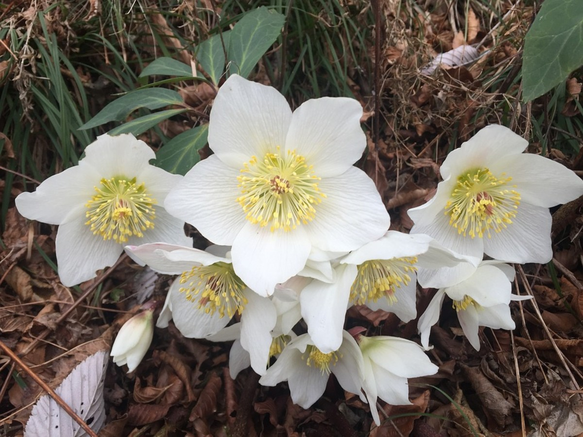 Hellebores were originally white.