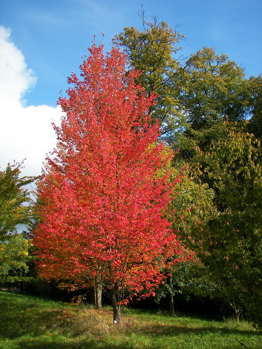 Red Maple (Acer rubrum) in the New Botanical Garden Marburg in Hesse, Germany.