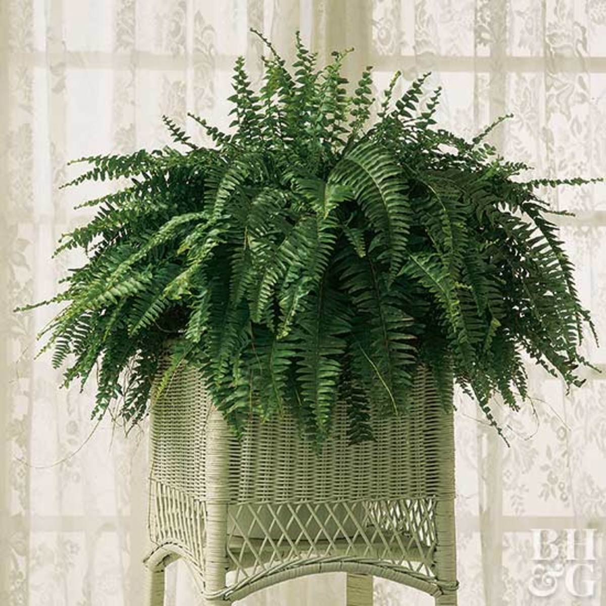 Boston ferns have made a popular comeback.
