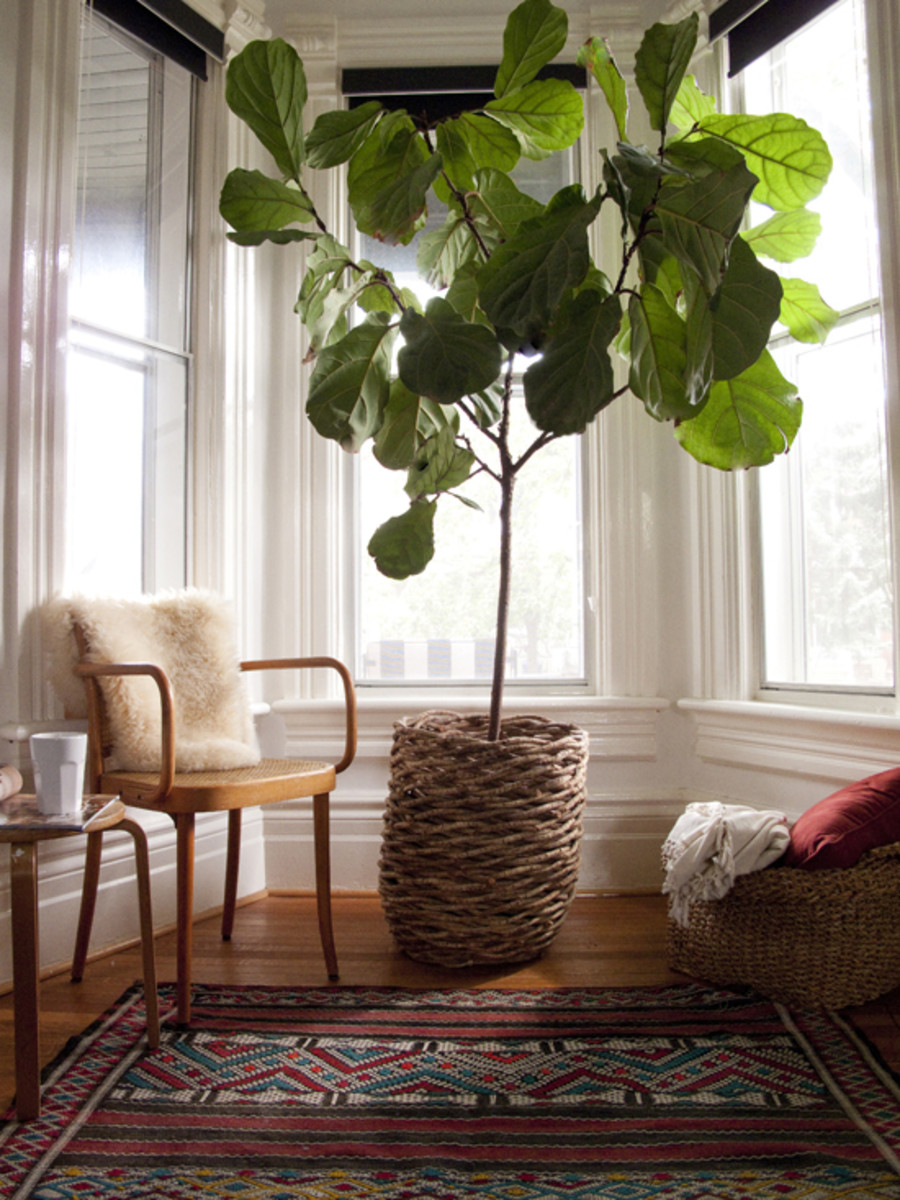 Fiddle leaf figs are gorgeous houseplants, but they require a lot of maintenance.
