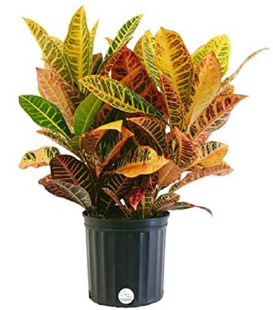 Crotons have a variety of vibrant colored leaves.